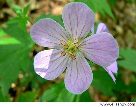 flor geranio