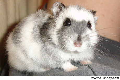 hamster mascota