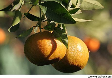 mandarina en rama