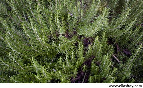 planta romero