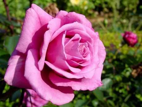 Cómo elegir las rosas
